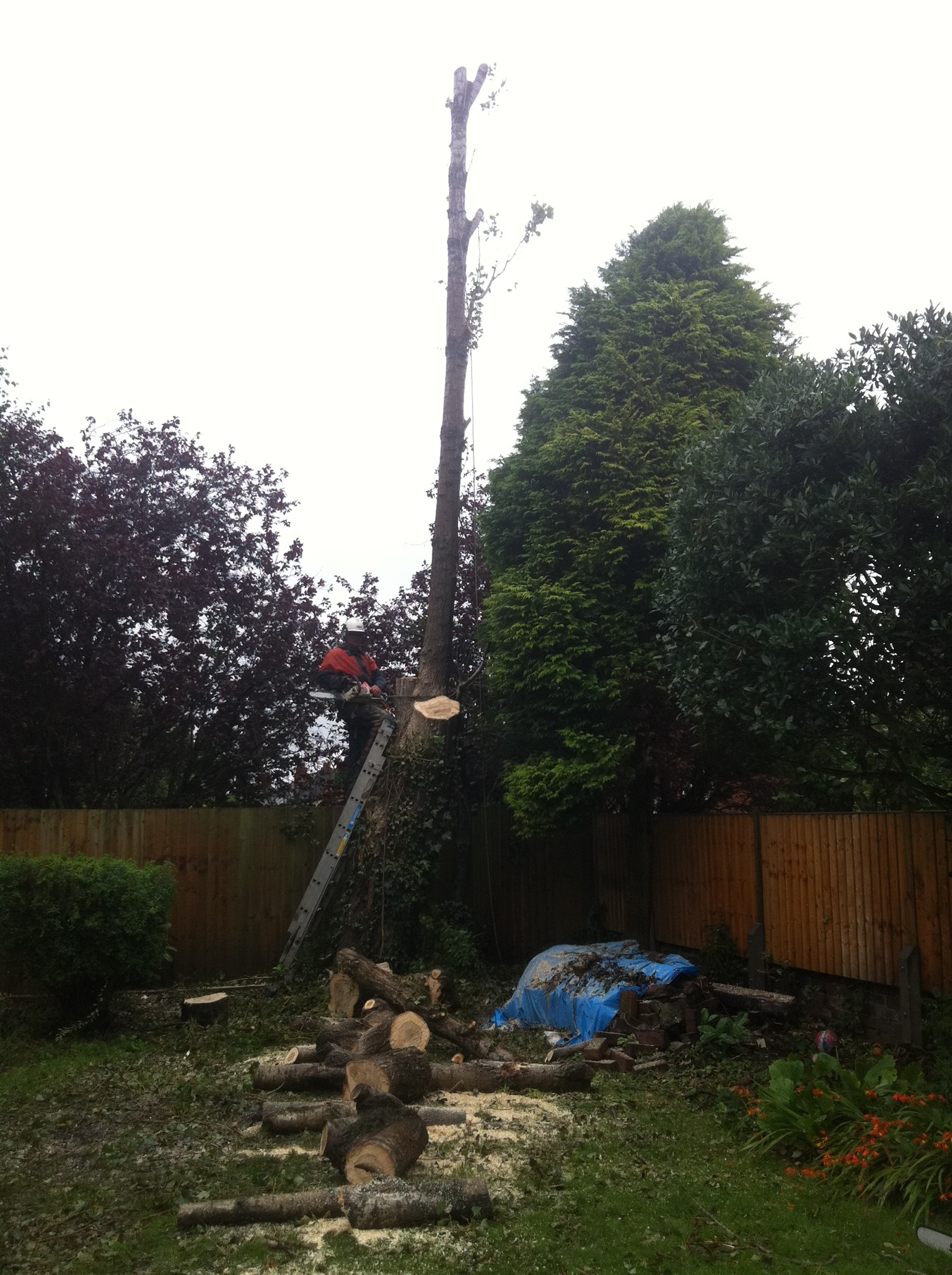 Removing Poplar tree